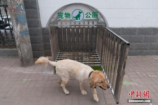 """3月26日,一只金毛犬刚刚使用完""""狗狗公厕""""。为了保护环境,当地一社区在街头试运行""""狗狗公厕"""",提倡文明饲养宠物。""""狗狗公厕""""长宽高均为一米左右,可容纳常见宠物排泄粪便。公厕下方托盘可抽出,里边铺有黄土,每天由环卫工人定时清理。 韦亮 摄"""