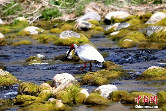 """3月27日,随着春季来临,栖息在陕西洋县的朱�q也开始了""""春孕"""",参加繁殖的朱�q其羽毛渐渐变成灰色,预示着新生命的孕育正在进行。近年来,朱�q种群逐年复壮,中国野生朱�q数量已近2000只,分布范围也从洋县扩大到安康、宝鸡、铜川、西安等市。图为一只野生朱�q在河内觅食。 张远 摄"""