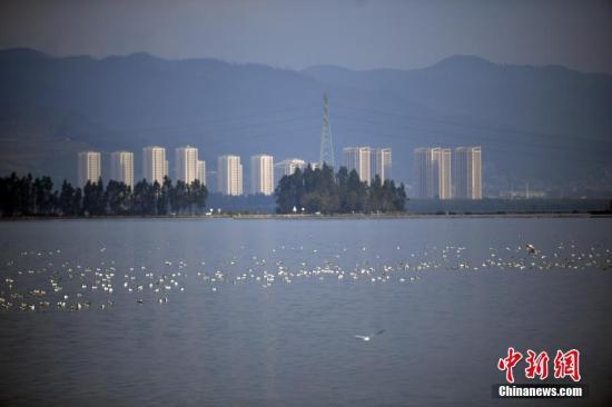 资料图:红嘴鸥在滇池里休憩。 中新社记者 李进红 摄