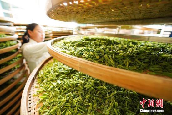 资料图:茶叶生产。 /p中新社记者 贺俊怡 摄