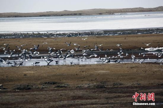 青海湖国家自然保护区管理局3月29日披露,日前结束的春季水鸟迁徙专项调查和普氏原羚春季专项调查结果显示,今年3月抵达青海湖的水鸟数量1.6万余只;在环青海湖地区13个普氏原羚观测样区,共观测记录到普氏原羚个体数量2057只,该物种种群数量再创新高,是1988年同期观测的近4倍。图为迁来青海湖的水鸟。 侯元生 摄