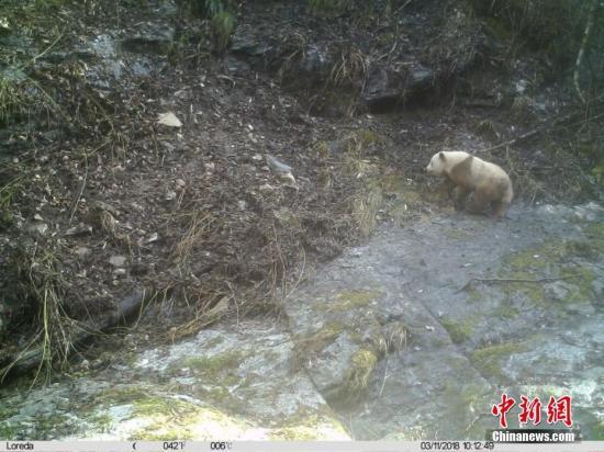 秦岭地区发现野生棕色大熊猫。 长青自然保护区 供图