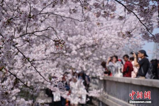 3月28日,无锡太湖鼋头渚内20万平方米的赏樱区内樱花飞舞,将近100多个品种的3万多株樱花竞相绽放。孙权 摄
