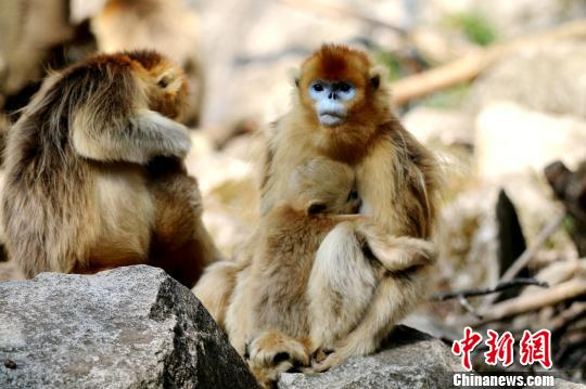 Wild golden monkeys 'visit' village at dinner time