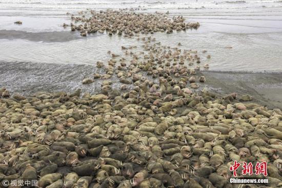 资料图:全球变暖致北冰洋海冰融化 美国数千海象被迫上岸。 图片来源:视觉中国