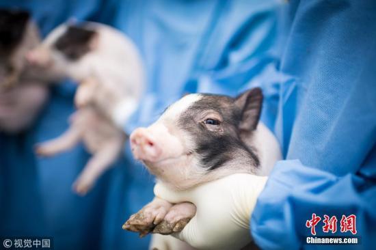 在广州九龙镇有一座 猪宾馆,生活着一群不寻常的实验小猪,它们能模拟人类的疾病,这里的科学家精准地把人突变的亨廷顿基因粘贴(敲入)到小猪的亨廷顿基因中,从而使猪患上了亨廷顿舞蹈症。图片来源:视觉亚博国际顶级线上娱乐8 文字来源:中青在线