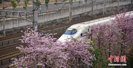 3月31日,在广西柳州市,一辆动车组从盛放的洋紫荆花疾速穿梭,仿佛在花海里遨游。柳州市是中国种植洋紫荆最多的城市,近日来,柳州市种植的26万株洋紫荆花进入了盛花期,把这座西南工业城市变为了花园城市。 王以照 摄