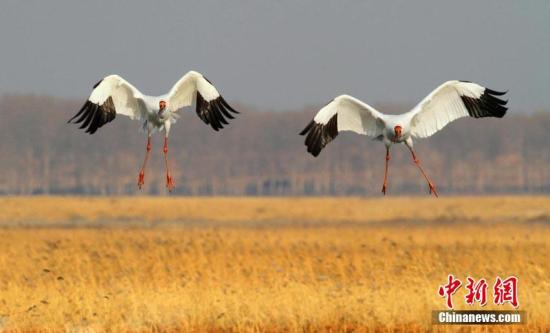 进入4月,在吉林省镇赉县境内的莫莫格国家级自然保护区内,一派生机盎然景象。迁徙至此的白鹤、白头鹤、灰鹤等数量已接近3000只,其中仅濒危的白鹤就有近千只。它们一起觅食、休息,悠长洪亮的鹤鸣甚至传播到几公里外。镇赉县地处松嫩平原,是世界候鸟迁徒重要通道之一,也是世界濒危物种白鹤东部种群(东部种群繁殖于西伯利亚东北部,在中国的鄱阳湖越冬)迁徙的必经之地。 潘晟昱 摄