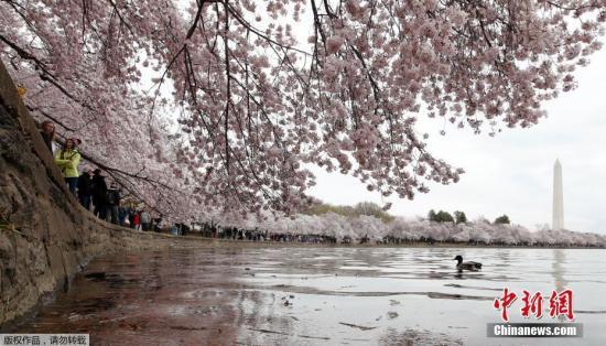 资料图:美国华盛顿潮汐湖畔樱花盛放,游人驻足观赏。