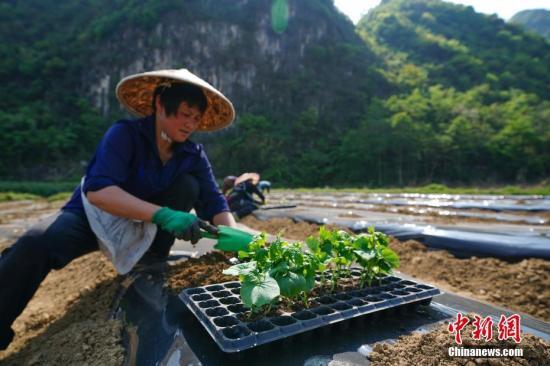 资料图:贵州产业结构调整,助农增收。中新社记者 贺俊怡 摄