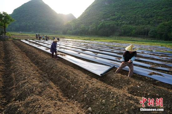 资料图:农民在田间铺地膜。中新社记者 贺俊怡 摄