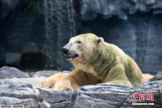 """当地时间4月12日,年事已高的北极熊""""伊努卡""""在新加坡动物园里休息。"""