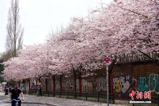 """4月12日,经历漫长寒冬后进入春季的德国柏林正迎来樱花盛开的时节。图为市民当天经过柏林著名的""""樱花大街""""施韦特街。 /p中新社记者 彭大伟 摄"""