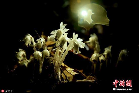 """近日,湖南省桂东县东边山无名山场现神奇植物水晶兰。4月12日,桂东县林业局接到该县东边山护林员报告,称他们在原始(次)森林里巡山时发现一种洁白从未见过的神奇植物,4月13日,桂东县林业局派出技术员前往,经仔细比对,确认该植物为稀有植物水晶兰。据桂东县林业局技术人员介绍,桂东至现在为止还没有水晶兰的记录,当是首次发现,经考证,目前在郴州范围内乃至湖南省也未查到它已现身的资料,它的""""惊""""现,对研究湘南物种很有科学价值。水晶兰又名幽灵草,它独特的习性和神奇的外形,使其在中国传统的武侠小说、传奇当中,常常作为幽灵之花出现,它还有""""梦兰花""""""""冥界之花""""等别称。 图片来源:东方IC 版权作品 请勿转载"""