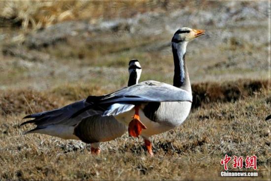 近日,多种珍稀鸟类聚集在青海可鲁克湖-托素湖自然保护区内栖息,吸引了摄影爱好者前往拍摄。图为斑头雁。 张秉斗 摄
