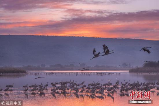当地时间2018-12-10消息,近日,摄影师Farid Kazamil在以色列胡拉山谷游览途中遇见了壮观的一幕,大约40000多只鹤迁徙途中在一个自然保护区休息,绵延数公里。落日下,这些鹤逆光的轮廓格外迷人。 图片来源:视觉中国