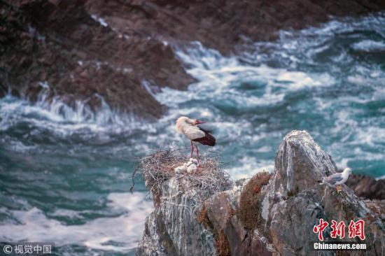 2018年4月25日讯(具体拍摄时间不详),葡萄牙西南阿连特茹和维森蒂娜海岸自然公园(Southwest Alentejo and Vicentine Coast Natural Park), 一只白鹳和和它的雏鸟在一个悬崖边的鸟巢里,下面十几米就是汹涌的海水。这只鹳完全不担心鸟巢的安全性,还在悠闲地整理自己的羽毛。商人兼自然摄影师Marco Bustos拍下这一场景。 图片来源:视觉中国