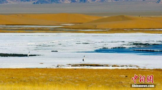 资料图:一对黑颈鹤在沼泽地觅食。王小军 摄