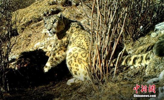 红外相机拍摄到的雪豹影像。原上草自然保护中心 供图