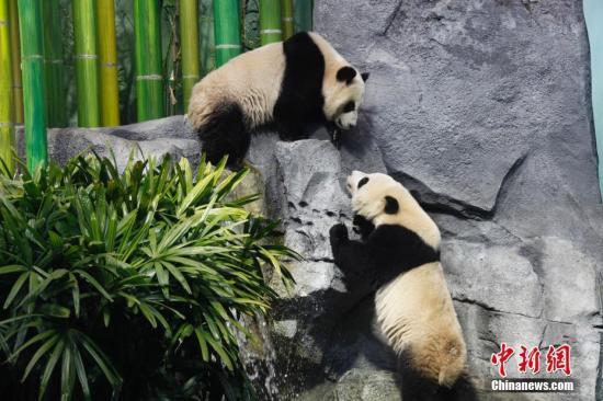 """中国租借给加拿大的大熊猫在位于卡尔加里动物园的""""熊猫走廊""""亮相。图为""""加悦悦""""(上)与""""加盼盼""""正在对望。中新社记者 余瑞冬 摄"""