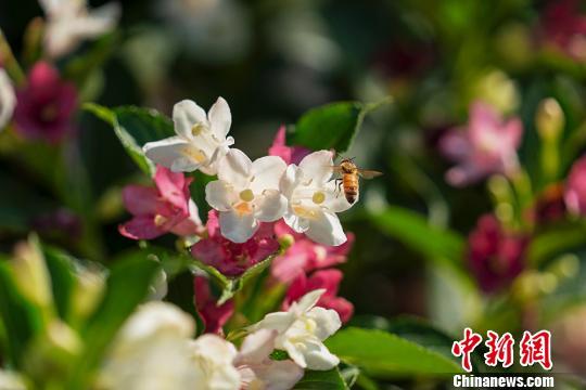 小蜜蜂在花丛中翩翩起舞。 钟学满 摄