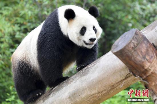"""5月11日,生活在广州长隆野生动物世界的大熊猫""""婷婷""""在树上玩耍。大熊猫""""婷婷""""于2008年6月因汶川大地震移居广州长隆野生动物世界,随后与大熊猫""""琳琳""""配对产下大熊猫""""悦悦""""。2018年2月24日,""""婷婷""""在卧龙神树坪基地分别与大熊猫""""武冈""""""""兰仔""""成功配对,静待二胎佳音。<a target='_blank' href='http://www.chinanews.com/'>中新社记者 陈骥�F 摄"""