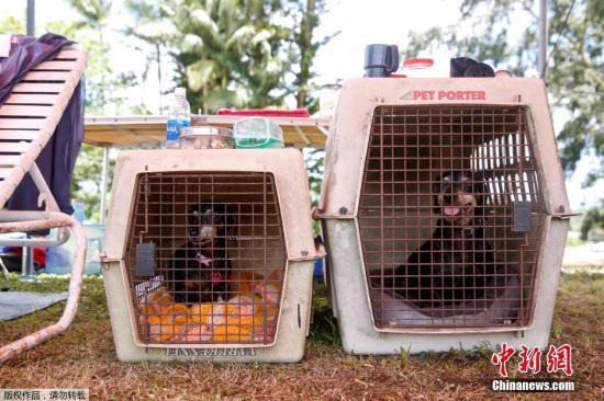 当地时间5月15日,美国夏威夷基拉韦厄火山持续喷发。在当地一处疏散中心聚集了许多宠物,由于火山的喷发,居民纷纷携带宠物撤离。图为疏散中心的两只宠物狗。