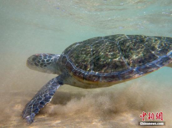 资料图:海龟。 骆云飞 摄