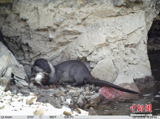 6月8日,山水自然保护中心与青海省玉树藏族自治州林业局对外发布,在玉树市扎曲河由红外相机记录下欧亚水獭捕食鱼类活动影像。欧亚水獭是河流生态系统的旗舰种以及顶级食肉动物,对于河流生态系统的健康以及完整程度有重要指示作用。 山水自然保护中心 供图