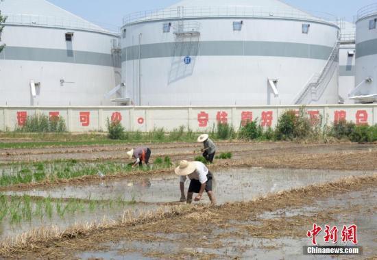 眼下多地小麦收割已经基本结束,辛苦的农民们依然没有懈怠。忙碌了大半年的农民如今已经不在家存粮,小麦收割后基本就直接卖掉。徐州地区的粮食收购点把新下来的小麦源源不断地送到维维粮仓等一些国家粮食储备库。6月12日,在徐州市铜山区104国道旁故黄河沿岸,辛苦的农民开始大规模进入插秧阶段。记者注意到,坚守在酷热阳光下插秧的农民,如今多为60岁以上的老年人。朱志庚 摄