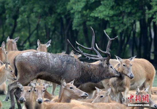 资料图:江苏大丰麋鹿保护区的野生麋鹿种群。 周古凯 摄