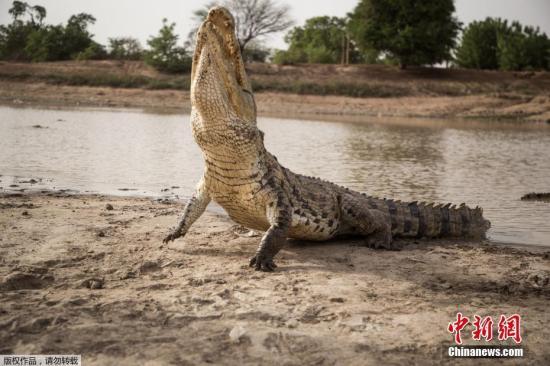 给鳄鱼喂食。