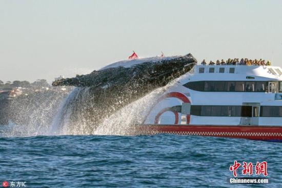 资料图:一头20吨重的座头鲸跃出水面。(图片来源:东方IC 版权作品 请勿转载)