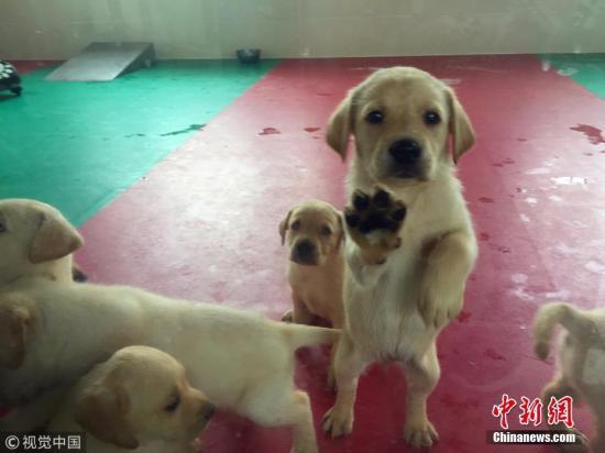 """6月26消息,在海关总署北京缉私犬基地一个50平米左右用玻璃墙围起的房间里,17只5周大的拉不拉多幼犬,有的正酣睡,有的在打闹玩耍,而对阵阵刺耳的声响好似充耳不闻。听见有人来,幼犬们连滚带爬地涌到玻璃围栏前,有的竟踩着""""兄弟姐妹""""立起身扒着玻璃好奇地观望着。这些呆萌的幼犬可不是一般的宠物,不久它们有可能成为毒贩的克星——缉毒犬。 文字来源:法制网 蔡岩红 摄 图片来源:视觉中国"""