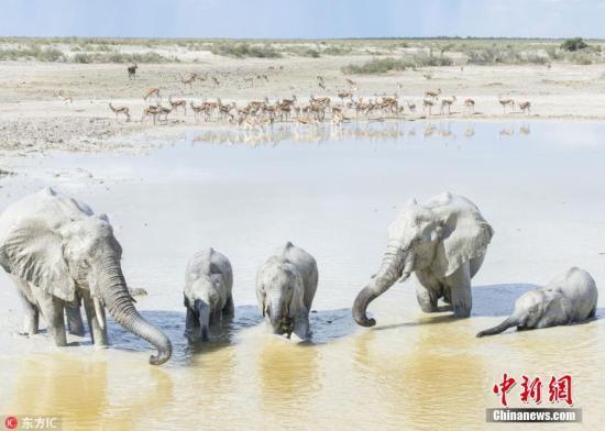 """2018年7月6日报导(详细拍照时刻不详),炎炎夏日里,防晒霜是爱美的姑娘们必不可少的日用品,而在坐落纳米比亚的埃托沙国家公园,摄影师Anja Denker就捕捉到了几只非常重视健康的大象,它们用象鼻汲取盐湖中的白泥水相互喷洒在身上,周身抹上厚厚的天然""""防晒霜""""。事实上,这种白色是当地共同的水质和土质形成的。埃托沙国家公园内的埃托沙盐湖是象群常常光临的当地,因为当地气候炎热,大象们喜爱汲取白泥水相互喷洒在身上,以维护皮肤不受酷日损伤 ,而盐湖中的土质含有很多的白粘土和方解石砂,一朝一夕这些物质就在大象上铺了一层""""白衣""""。 图片来历:东方IC 版权著作 请勿转载"""