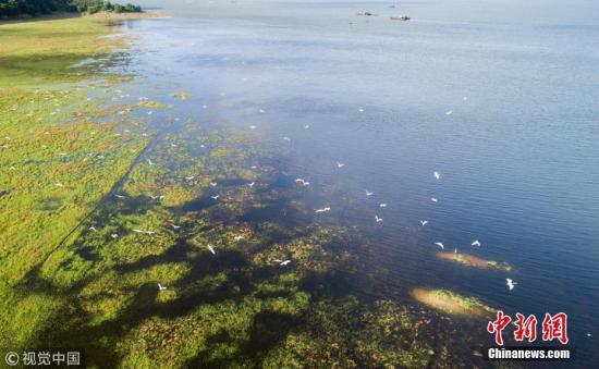鄱阳湖水涨起,白鹭在水草间飞舞。 傅建斌 摄 图片来源:视觉中国