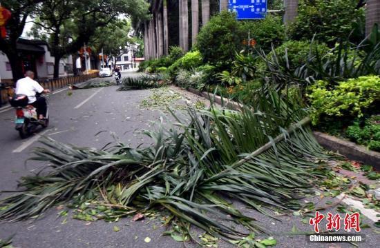 """福州市区一路段路旁绿化带植物被被台风""""玛莉亚""""刮落一地。刘可耕 摄"""