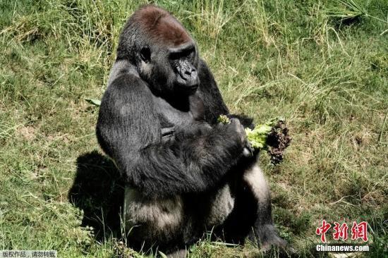 神奇!大猩猩直立摆姿势与护林员自拍引关注