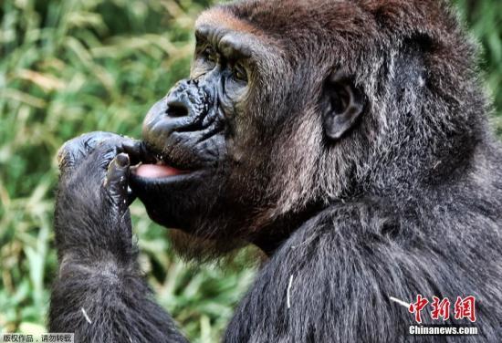 资料图:大猩猩。