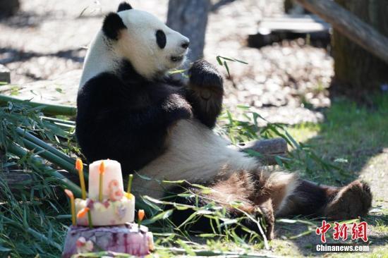 """图为""""娇庆""""坐在柏林动物园为它准备的生日蛋糕旁。 彭大伟 摄"""