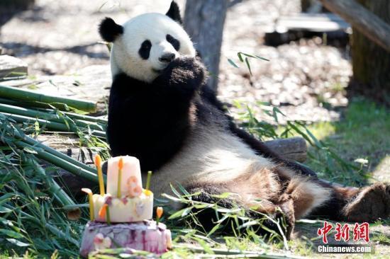 """""""娇庆""""和不久前庆祝五岁生日的雌性大熊猫""""梦梦""""于2017年6月一同抵达德国柏林,这是这对大熊猫在德国度过的第二个生日。彭大伟 摄"""