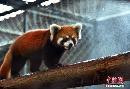 资料图:小熊猫。中新社记者 翟羽佳 摄