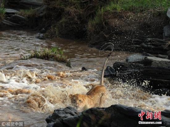 """7月20日讯(具体拍摄时间不详),肯尼亚马赛马拉,摄影师兰詹·纳姆昌达尼(Ranjan Ramchandani)抓拍到了狮群尝试穿过汹涌河流的紧张瞬间。肯尼亚遭遇了严重的持续性降雨,这不仅影响了肯尼亚人民的日常生活,也给当地野生动物带来了生存危机。据摄影师兰詹介绍,食物的短缺迫使狮群渡过河流追踪猎物,这群狮子选择了一个相对较窄的10英尺(约合3米)宽河道渡河,但湍急的水流对幼狮们来说仍是一个巨大的挑战,令人印象深刻的是,它们都非常勇敢地克服了恐惧并成功到达对岸。兰詹说,暴雨可能已经导致肯尼亚最著名的猎豹""""马卡拉""""( Malaika)被淹死:""""'马卡拉'在雨季期间失踪了,直到现在我们还没能收..."""
