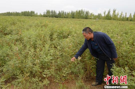 种植户介绍甘草种植,曾经沙化严重的土地变为甘草种植园。 刘文华 摄