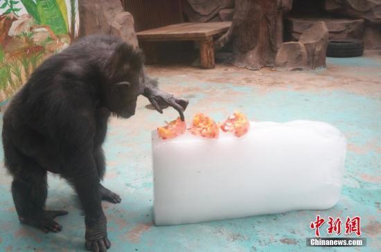 """对于新鲜的冰冻水果,黑猩猩""""菲莉""""好奇地用手指触摸。韩章云 摄"""