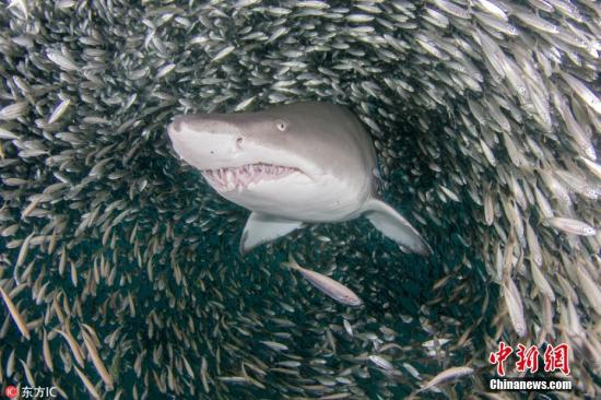 资料图:虎鲨。图片来源:东方IC 版权作品 请勿转载