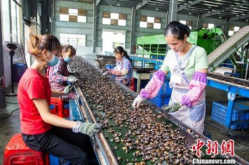 广西崇左市龙州县水口镇一企业内,工人加工越南腰果。(资料图)中新社记者 陈冠言 摄