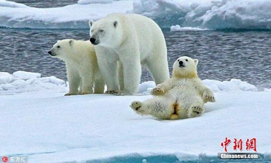 北极圈文章北极熊受v文章?专家:网传高温存在夸大苍蝇墙上成分屎图片