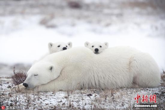 资料图:北极熊。图片来源:东方IC 版权作品 请勿转载