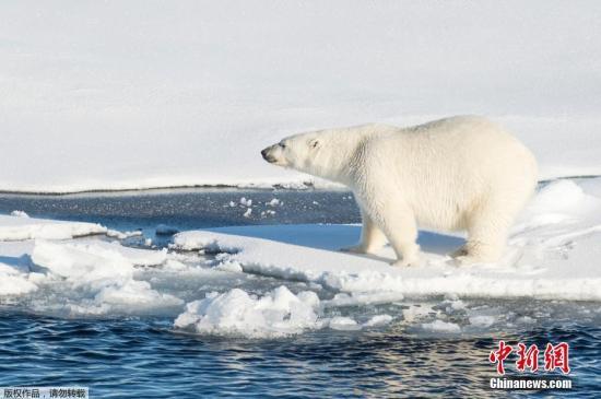 资料图:气候变暖导致冰山融化,影响北极熊的觅食和生存。